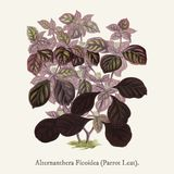 Alternanthera Ficoidea found in 1825-1890 New and Rare Beautiful-Leaved Plant illustration drawing Royalty Free Stock Photography
