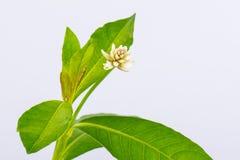 Alternanthera philoxeroides (mercato ) Griseb immagini stock libere da diritti