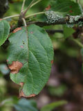Alternaria leaf spot on diseased apple treet Royalty Free Stock Photography