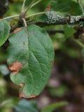 Alternaria leaf spot on diseased apple treet. Lesions caused by alternaria fungus on diseased apple leaf royalty free stock photography