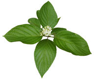 Alternate Leaved Dogwood Stock Images