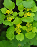 Alternate-leaved golden-saxifrage Royalty Free Stock Image