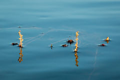 Alternate water-milfoil inflorescence Royalty Free Stock Photo