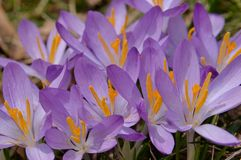 Alternating mauve and orange pattern in crocuses Royalty Free Stock Image