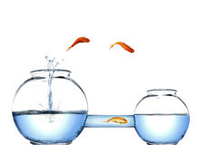 Alternative easy way. A clever gold fish choose another way Royalty Free Stock Photography