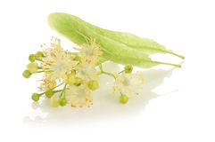 Alternative medicine: linden flowers (receive treatment for cough).  Stock Image