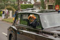 The Royal drivers parade their own puppets en route to Royal Ascot royalty free stock images