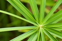 alternifoius cyperus Fotografia Royalty Free