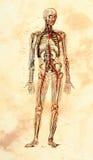 Altes anatomisches Baumuster Stockfoto