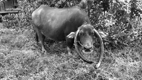Altes Büffel-Monochrom Stockbild