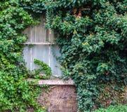 Altes Fenster bedeckt im Efeu Lizenzfreies Stockfoto