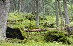 Altes forrest mit gefallenen Bäumen und den Steinen überwältigt mit Moos Lizenzfreies Stockfoto