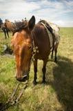 Altes gesatteltes Pferd Stockbild
