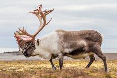Altes, großes arktisches Ren, das sich vorbereitet, seine Geweihe zu verschütten Stockfoto
