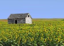Altes hölzernes Bretterbude auf dem Sonnenblumegebiet. Stockbilder