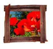 Altes Holz gestaltet Frühlings-Mohnblumen Stockbilder