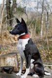 Altes Hund-basenji mit einer grauen M?ndung Gro?es Portrait lizenzfreie stockfotografie