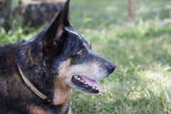 Altes Hundegesichtsprofil mit grasartigem Rasenhintergrund Stockbild