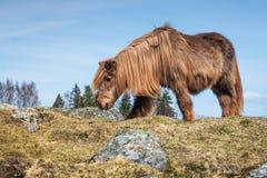 Altes isländisches Pferd stockfotografie