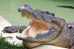 Altes Krokodil stockfotos