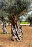 Altes Olivenbaum-Kabel lizenzfreie stockfotos