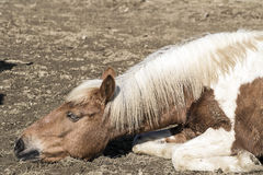 Altes Pferd, das aus den Grund liegt Stockbild