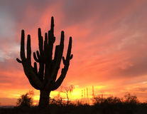 Altes Saguarokaktus-Baumschattenbild Stockbild