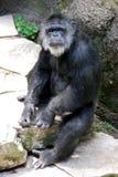 Altes Schimpanse-Anstarren Stockbild