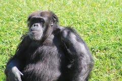 Altes Schimpanseporträt Stockbild