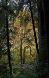 Altes Wachstums-Küsten-Rotholz und große Blatt-Ahornbäume Lizenzfreie Stockfotografie