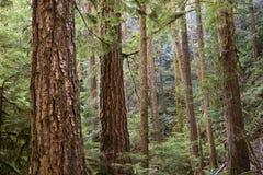 Altes Wachstums-Wald, olympischer Nationalpark, Washington stockfotografie