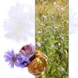 Altes zackiges Oberteil mit empfindlichen frischen Blumen der blauen Zichorie, Blumenblatt Lizenzfreies Stockfoto