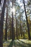 Altezza ardua degli abeti della foresta fotografia stock libera da diritti