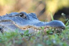 Altezza d'occhio con l'alligatore Fotografia Stock Libera da Diritti
