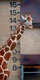 Altezza - giraffa Immagini Stock Libere da Diritti