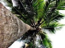 Altezze della palma Fotografie Stock Libere da Diritti