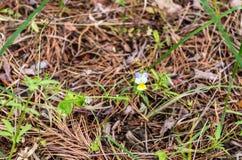 Altfiol som är tricolor i natur Altfiol som är tricolor i löst Fotografering för Bildbyråer