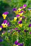 Altfiolen blommar på en sommarafton Royaltyfri Fotografi