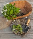 Altfiolodorata på trätabellen bredvid en trädgårds- skyffel Arkivfoton