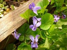 Altfiolodorata, wood violet Royaltyfri Fotografi