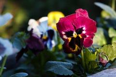 Altfiolpens?blomma arkivfoton