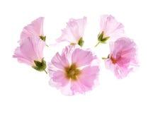 Althaea officinalis Royaltyfria Bilder