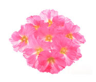 Althaea officinalis Stock Image