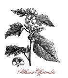 Althaea officinalis, botanical vintage engraving Stock Photos
