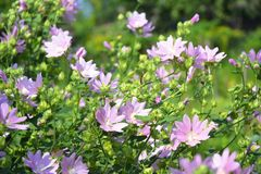 Althaea officinalis or marsh mallow flowers. Marshmallow is used as a medicinal plant and ornamental plant. Althaea officinalis flowers. Marshmallow is used as royalty free stock photography