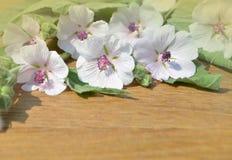 Althaea officinalis marshmallow zdjęcia royalty free