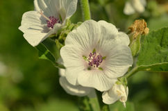 Althaea officinalis marshmallow. Marshmallow flower in the garden. Traditional medicine stock photo