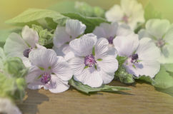 Althaea officinalis marshmallow. Stock Images