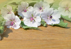 Althaea officinalis marshmallow. Royalty Free Stock Photos