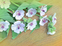 Althaea officinalis marshmallow. Marshmallow flower on wooden table. Traditional medicine stock image